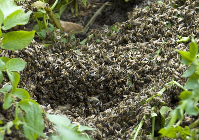 Κυψέλη Μέλισσες στους τεράστιους αριθμούς που εγκαθίστανται στο έδαφος στοκ φωτογραφία με δικαίωμα ελεύθερης χρήσης