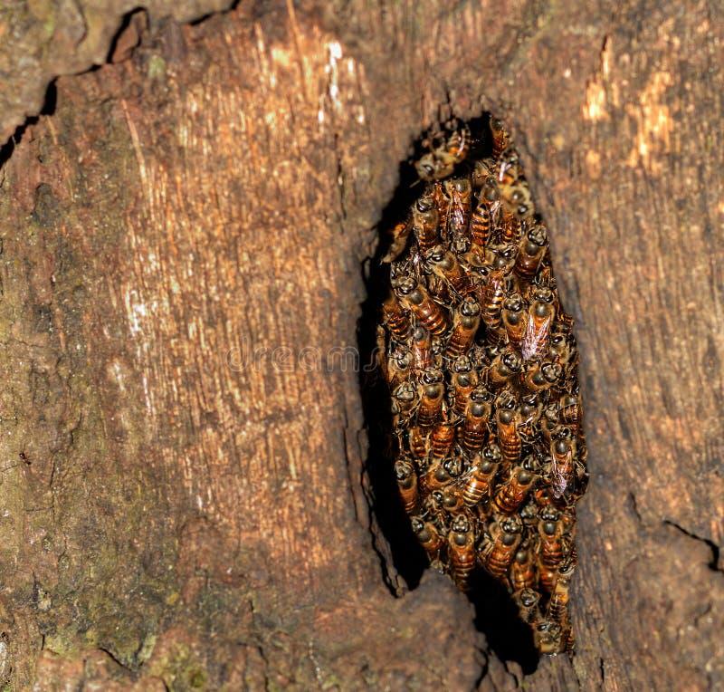 Κυψέλη σε ένα δέντρο κοίλο στοκ εικόνες με δικαίωμα ελεύθερης χρήσης