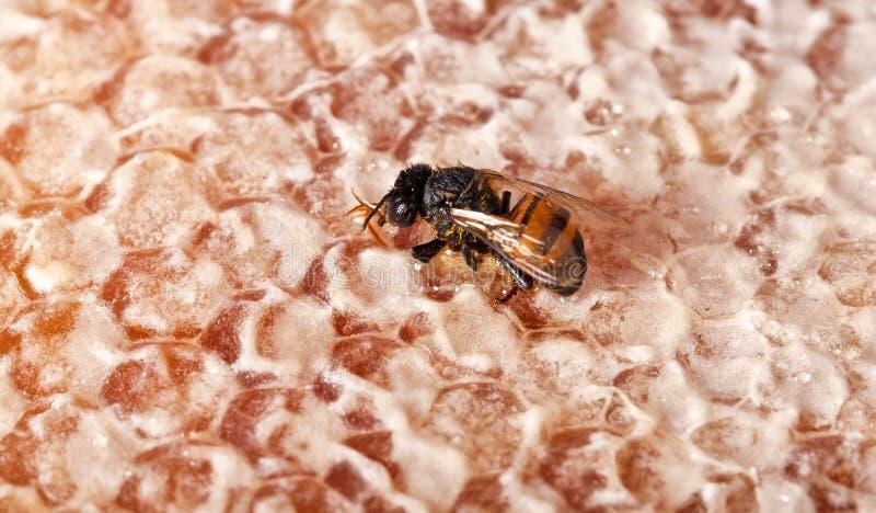 κυψελωτός ενιαίος κίτρινος μελισσών στοκ εικόνα
