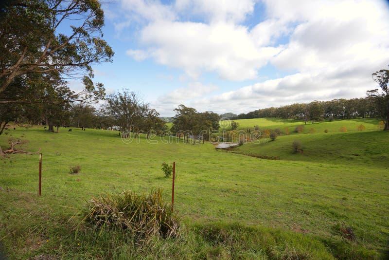 Κυλώντας λόφοι και βοοειδή που βόσκουν το νότιο Χάιλαντς Αυστραλία στοκ εικόνα