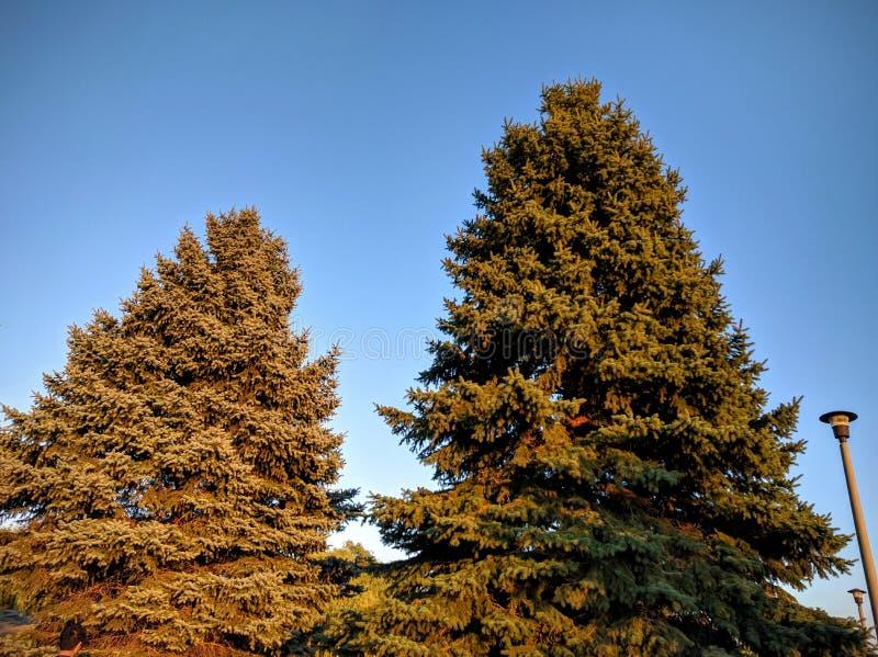 Κωνοφόρα δέντρα στο ηλιοβασίλεμα στοκ εικόνες