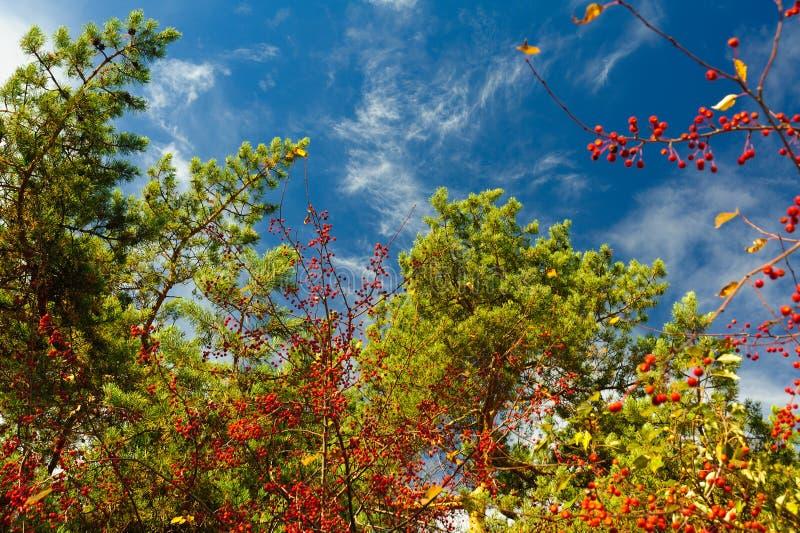 Κωνοφόροι κλάδοι και μούρα σορβιών ενάντια σε έναν μπλε ουρανό με τα ελαφριά σύννεφα στοκ εικόνες
