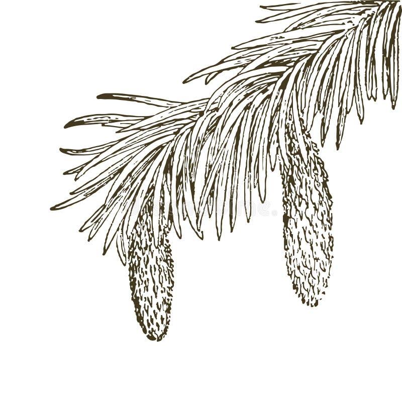 Κωνοφόροι κλάδοι των δέντρων με τους κώνους: πεύκο, ερυθρελάτες, έλατο, cypr ελεύθερη απεικόνιση δικαιώματος