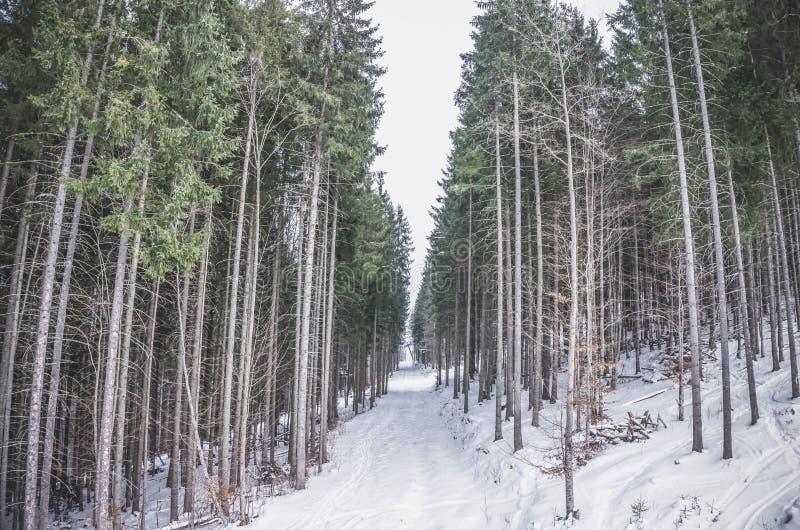 Κωνοφόρο δάσος το χειμώνα Μεγαλοπρεπής κομψός λεπτός στοκ εικόνες