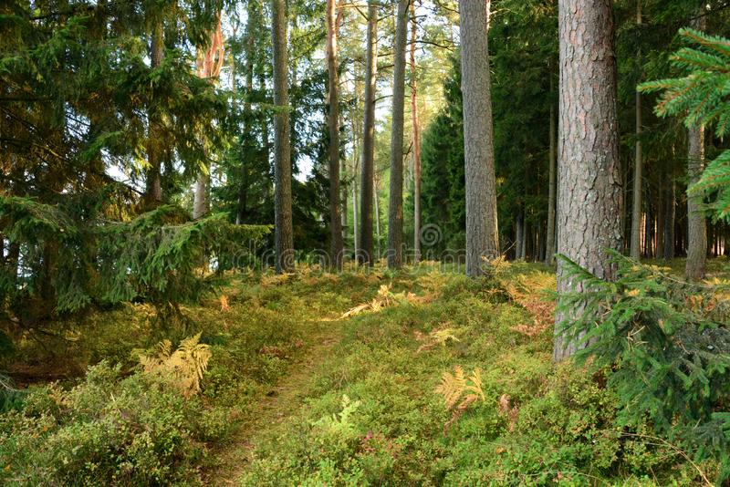 Κωνοφόρο πεύκο και κομψό δάσος στοκ εικόνα