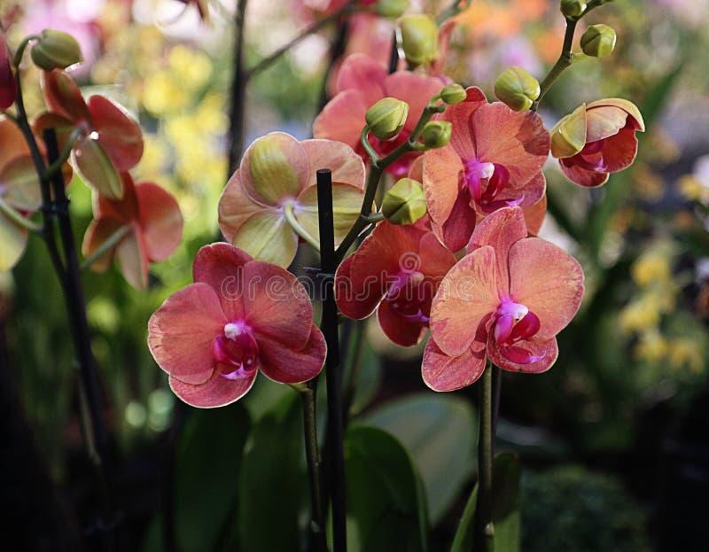 Κόκκινα άνθη ορχιδεών Phalaenopsis στην ακίδα στοκ φωτογραφίες με δικαίωμα ελεύθερης χρήσης