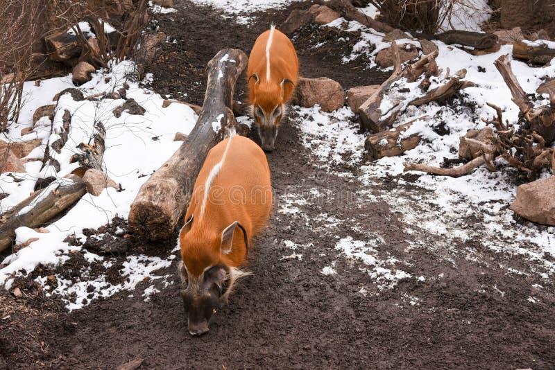 Κόκκινα γουρούνια ποταμών στοκ φωτογραφία
