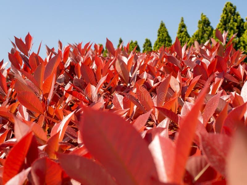 Κόκκινα δέντρα φύλλων και πράσινη φύση στοκ φωτογραφία με δικαίωμα ελεύθερης χρήσης