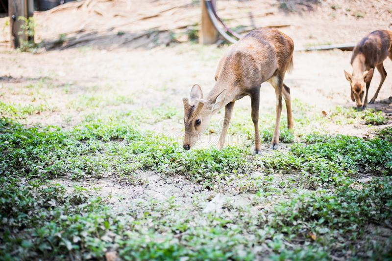 Κόκκινα ελάφια και hinds περπάτημα και τρώγοντας της χλόης στοκ φωτογραφία