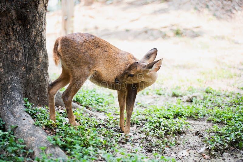 Κόκκινα ελάφια και hinds περπάτημα και τρώγοντας της χλόης στοκ εικόνες με δικαίωμα ελεύθερης χρήσης