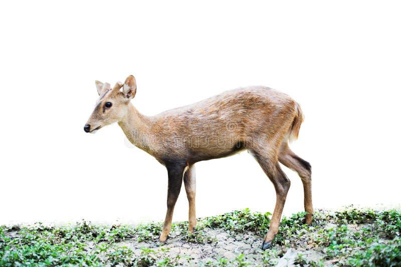 Κόκκινα ελάφια και hinds περπάτημα και τρώγοντας της χλόης στοκ εικόνα