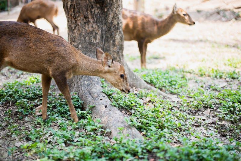 Κόκκινα ελάφια και hinds περπάτημα και τρώγοντας της χλόης στοκ φωτογραφίες με δικαίωμα ελεύθερης χρήσης