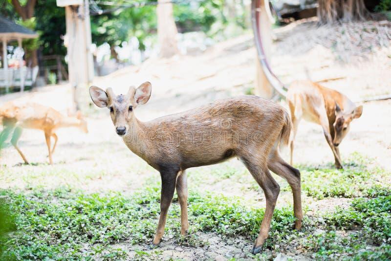 Κόκκινα ελάφια και hinds περπάτημα και τρώγοντας της χλόης στοκ φωτογραφία με δικαίωμα ελεύθερης χρήσης