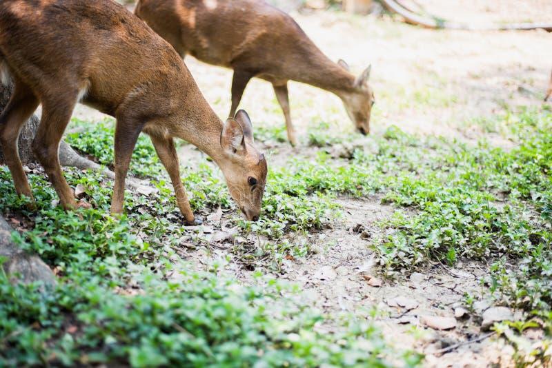 Κόκκινα ελάφια και hinds περπάτημα και τρώγοντας της χλόης στοκ φωτογραφίες