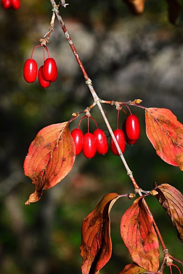 Κόκκινα επιμηκυμένα μούρα και φύλλα φθινοπώρου του ιαπωνικού cornei ή του ιαπωνικού cornelian κερασιού, λατινικά Cornus ονόματος  στοκ φωτογραφίες με δικαίωμα ελεύθερης χρήσης