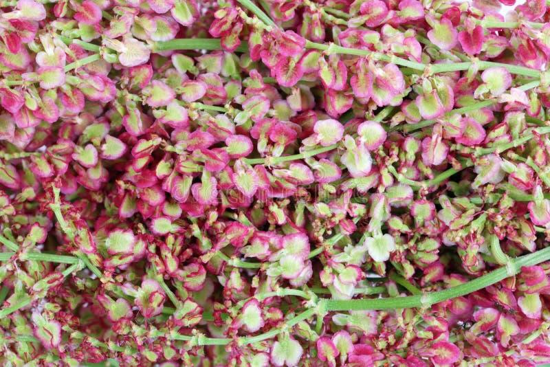 Κόκκινα θερινά λουλούδια των άγριων εγκαταστάσεων λιβαδιών - sorrel αλόγων υπόβαθρο στοκ φωτογραφία