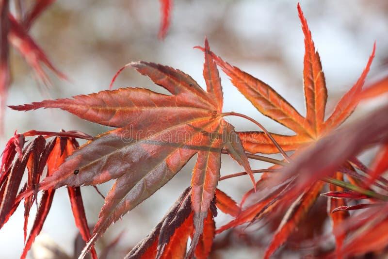 Κόκκινα ιαπωνικά φύλλα σφενδάμου στοκ φωτογραφίες με δικαίωμα ελεύθερης χρήσης