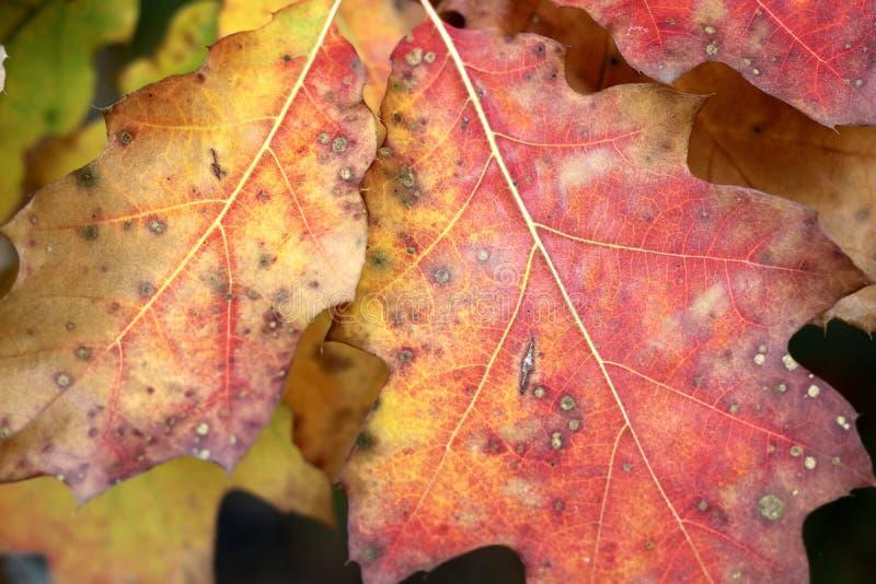 Κόκκινα, κίτρινα και πράσινα δρύινα φύλλα ως χρωματισμένο φθινόπωρο υπόβαθρο στοκ εικόνα με δικαίωμα ελεύθερης χρήσης