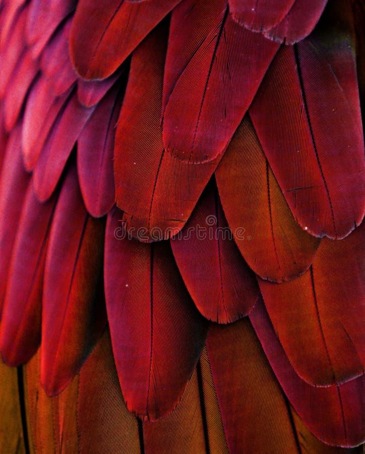 Κόκκινα/κίτρινα φτερά Macaw στοκ φωτογραφία με δικαίωμα ελεύθερης χρήσης