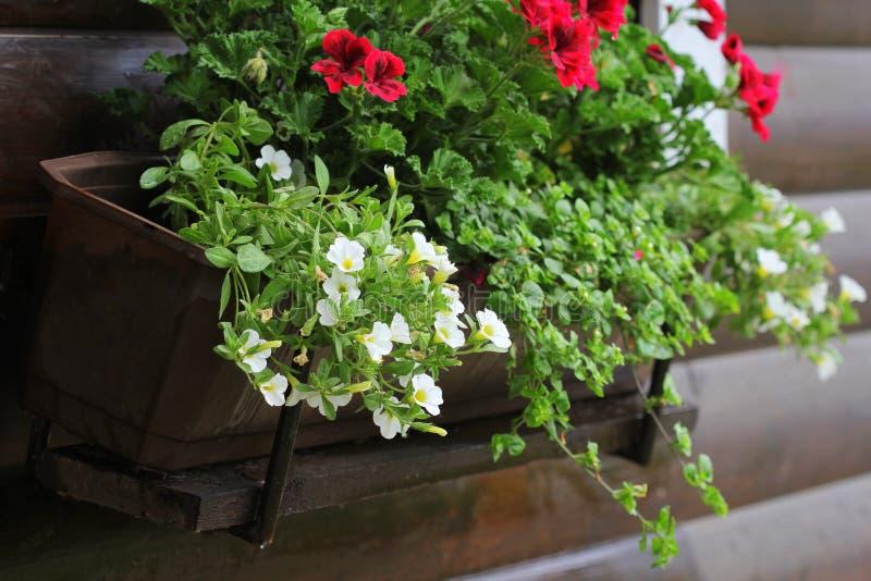 Κόκκινα και άσπρα ανθίζοντας φυτά σε ένα κιβώτιο λουλουδιών στη στρωματοειδή φλέβα παραθύρων Αύξηση λουλουδιών γερανιών, πετουνιώ στοκ φωτογραφία με δικαίωμα ελεύθερης χρήσης