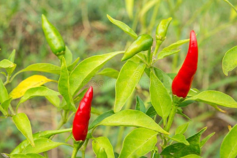 Κόκκινα και πράσινα καυτά τσίλι στοκ εικόνα με δικαίωμα ελεύθερης χρήσης