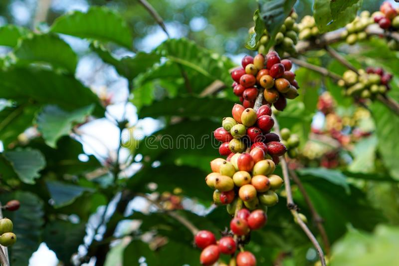 Κόκκινα και πράσινα φασόλια καφέ στοκ φωτογραφίες με δικαίωμα ελεύθερης χρήσης