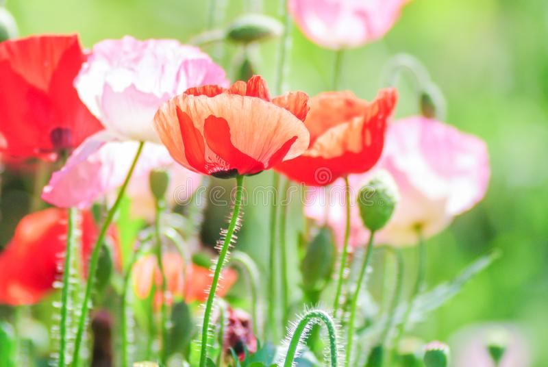 Κόκκινα και ρόδινα λουλούδια παπαρουνών σε έναν τομέα, κόκκινο papaver στοκ φωτογραφία
