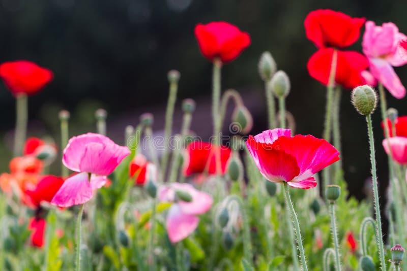 Κόκκινα και ρόδινα λουλούδια παπαρουνών στοκ φωτογραφίες με δικαίωμα ελεύθερης χρήσης