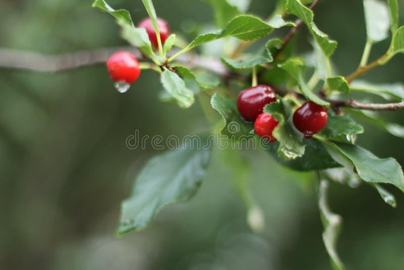 Κόκκινα κεράσια το καλοκαίρι μετά από τη βροχή στοκ φωτογραφίες