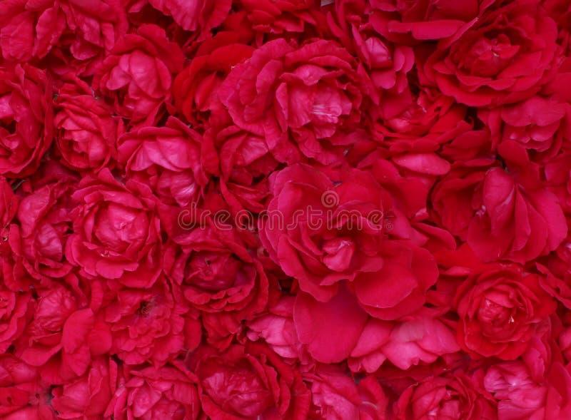 Κόκκινα κεφάλια τριαντάφυλλων   Έννοια καρτών ειδυλλίου και αγάπης Όμορφο υπόβαθρο τριαντάφυλλων για τη γαμήλια σκηνή στοκ εικόνα με δικαίωμα ελεύθερης χρήσης