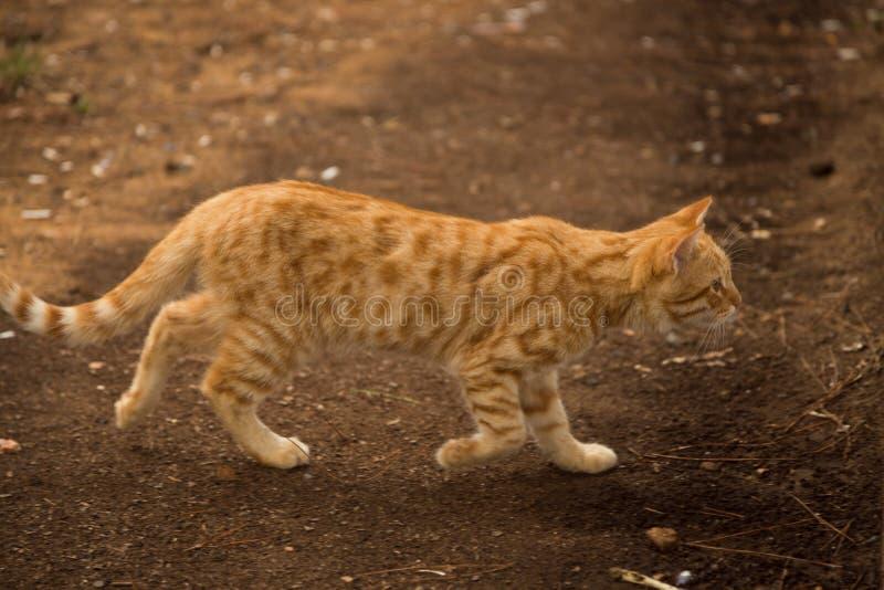 Κόκκινα κυνήγια γατών στο χωριό στοκ φωτογραφία