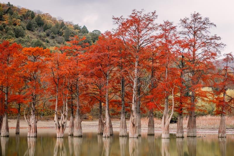 Κόκκινα κυπαρίσσια ελών, τοπίο φθινοπώρου με τη λίμνη στοκ εικόνες