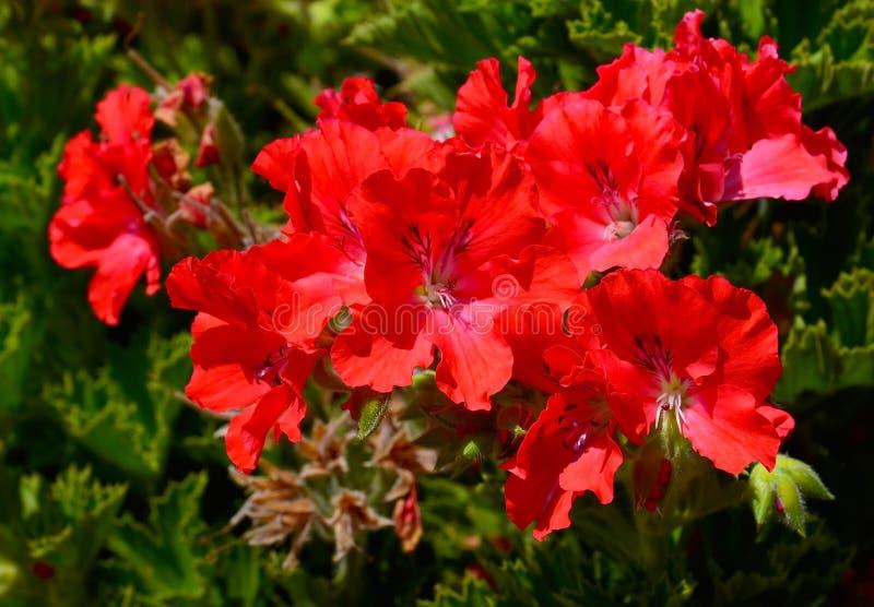 Κόκκινα λουλούδια γερανιών στο θερινό κήπο, ανθίζοντας πελαργόνια κισσός-φύλλων Γεράνι Peltatum στοκ φωτογραφία