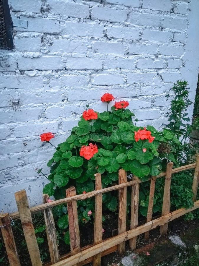 Κόκκινα λουλούδια, κήπος στοκ εικόνα με δικαίωμα ελεύθερης χρήσης