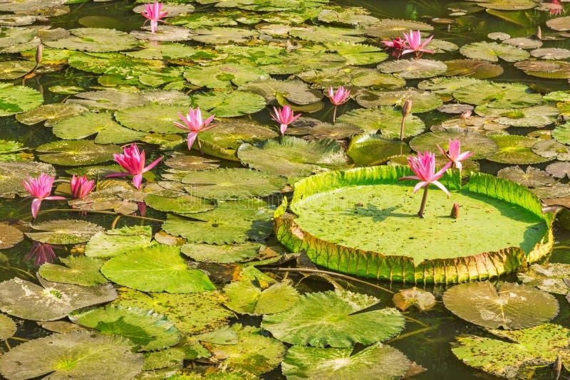 Κόκκινα λουλούδια λωτού και μεγάλα πράσινα φύλλα στοκ φωτογραφίες με δικαίωμα ελεύθερης χρήσης