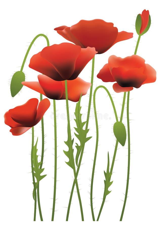 Κόκκινα λουλούδια παπαρουνών, διανυσματική απεικόνιση διανυσματική απεικόνιση