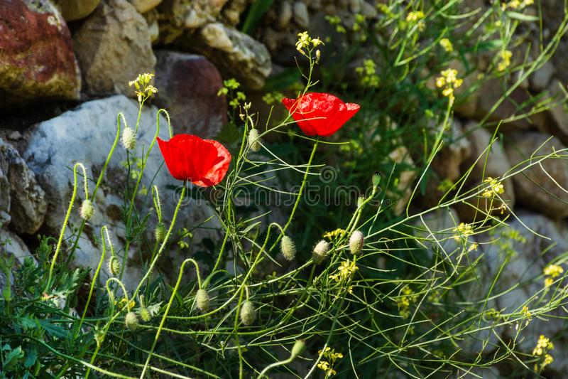Κόκκινα λουλούδια παπαρουνών στον τοίχο βράχου την ηλιόλουστη ημέρα άνοιξη στοκ φωτογραφία