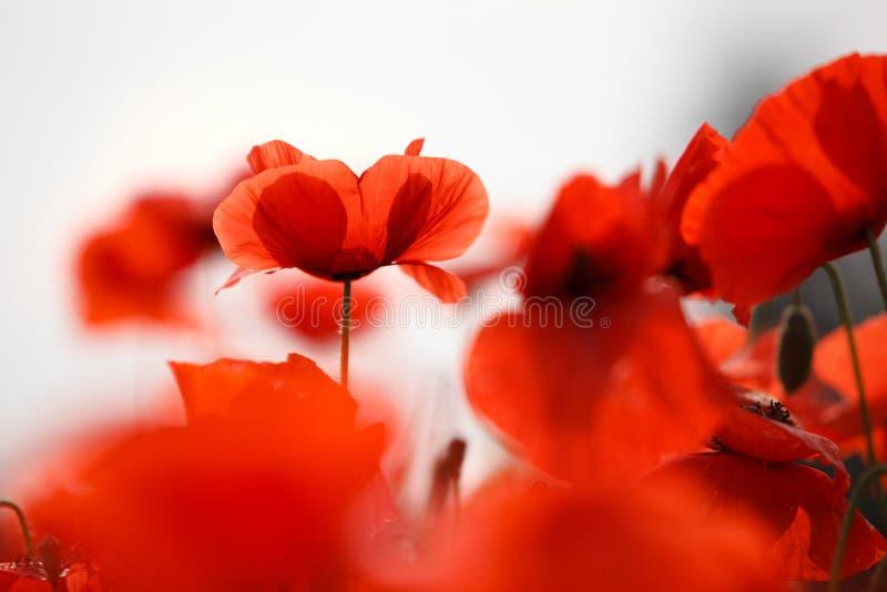 Κόκκινα λουλούδια παπαρουνών στοκ φωτογραφία
