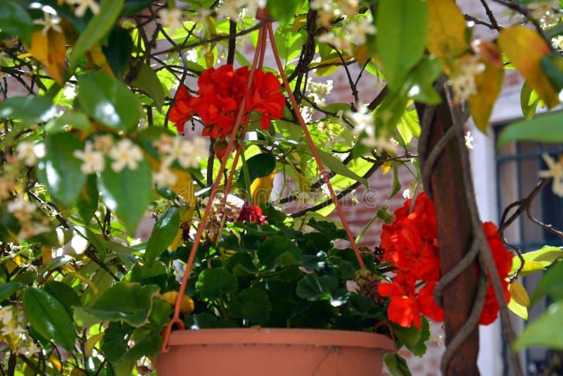 Κόκκινα λουλούδια στο δοχείο στη Βενετία, στην Ιταλία, Ευρώπη στοκ εικόνες