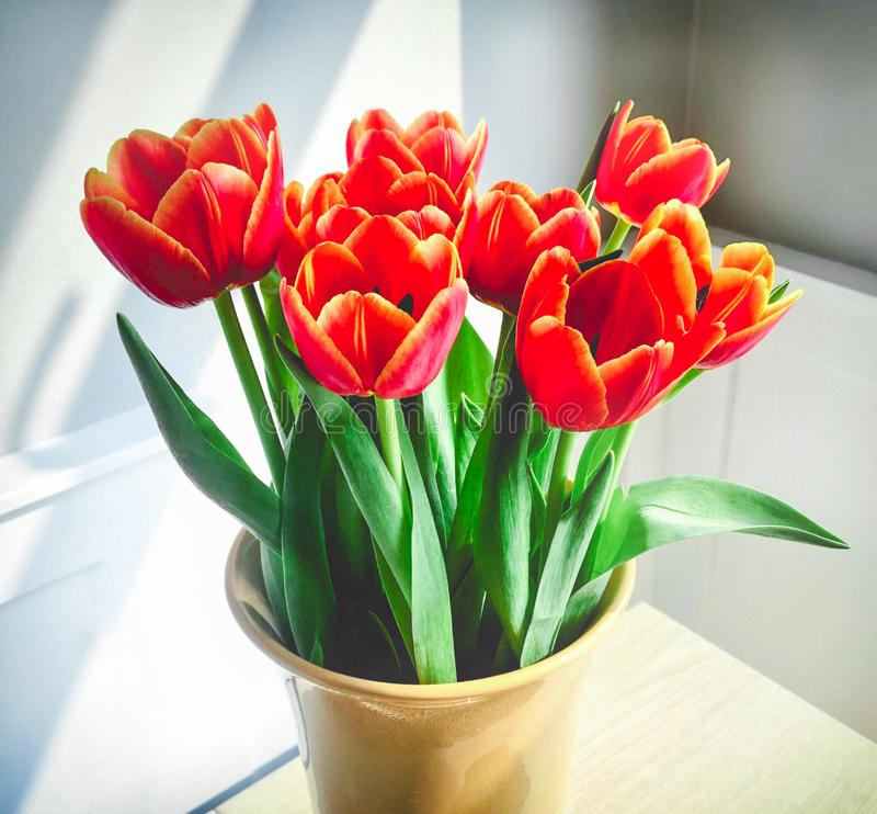 Κόκκινα λουλούδια, τουλίπες σε ένα βάζο κρέμας σε ένα γκρι στο άσπρο δωμάτιο αναμμένο από το φως του ήλιου μέσω ενός παραθύρου στοκ φωτογραφίες με δικαίωμα ελεύθερης χρήσης