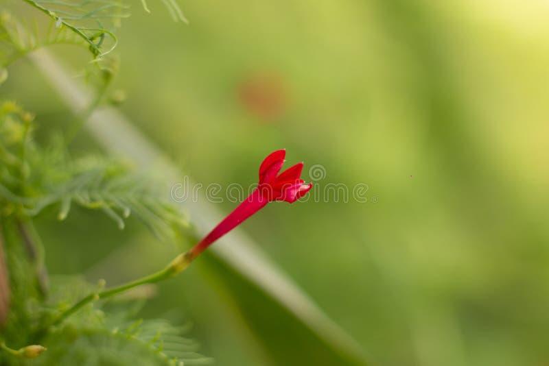Κόκκινα λουλούδια του κήπου στη βροχερή ημέρα στοκ εικόνα με δικαίωμα ελεύθερης χρήσης