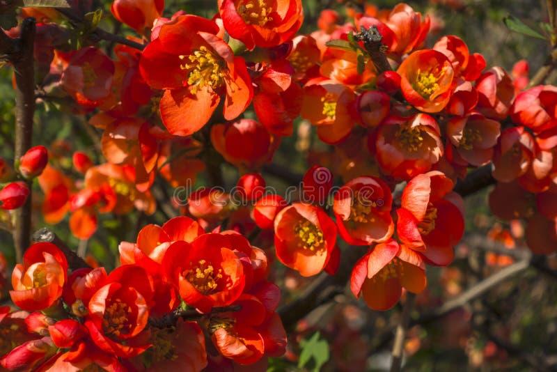 Κόκκινα λουλούδια ως υπόβαθρο στοκ εικόνες