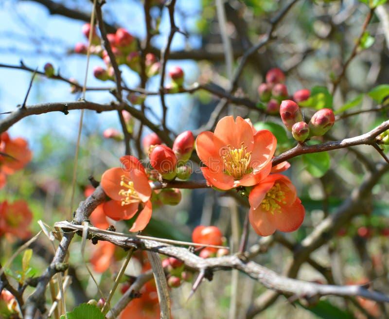 Κόκκινα λουλούδια Chaenomeles στοκ φωτογραφίες με δικαίωμα ελεύθερης χρήσης