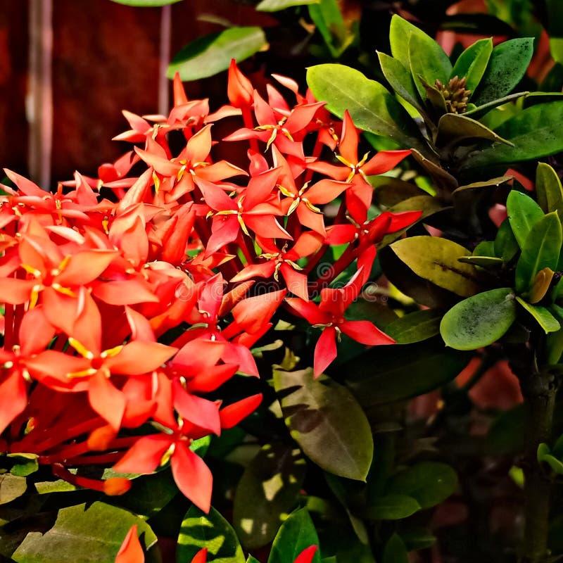Κόκκινα λουλούδια Ixora στοκ εικόνα με δικαίωμα ελεύθερης χρήσης