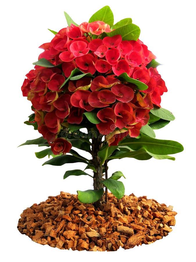 Κόκκινα λουλούδια POI Σηάν στοκ φωτογραφίες