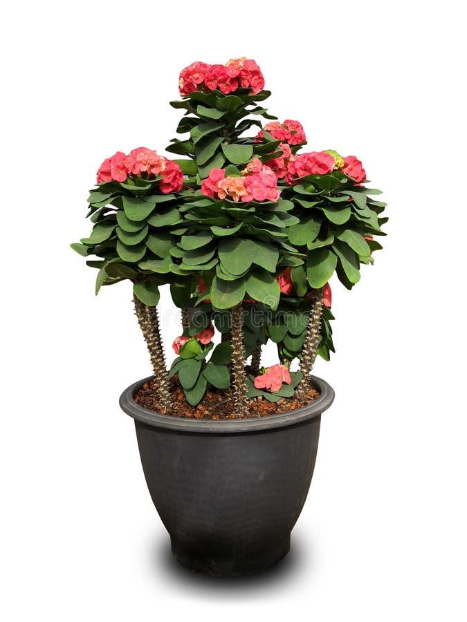 Κόκκινα λουλούδια POI Σηάν στοκ φωτογραφία με δικαίωμα ελεύθερης χρήσης