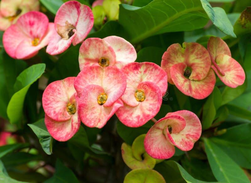 Κόκκινα λουλούδια POI Σηάν στοκ εικόνα