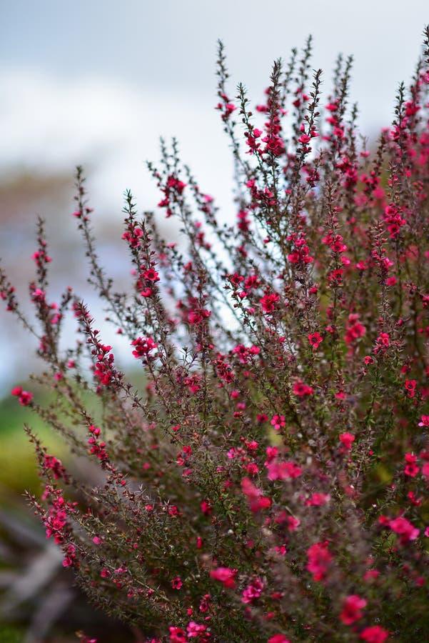Κόκκινα λουλούδια Wiri Donna που ανθίζουν την άνοιξη στους βοτανικούς κήπους του Ώκλαντ στοκ εικόνες με δικαίωμα ελεύθερης χρήσης