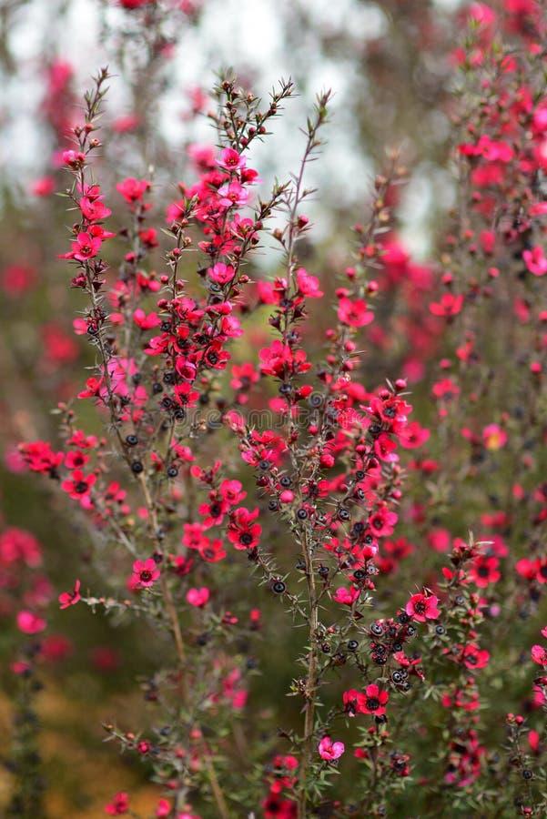 Κόκκινα λουλούδια Wiri Donna που ανθίζουν την άνοιξη στους βοτανικούς κήπους του Ώκλαντ στοκ εικόνες