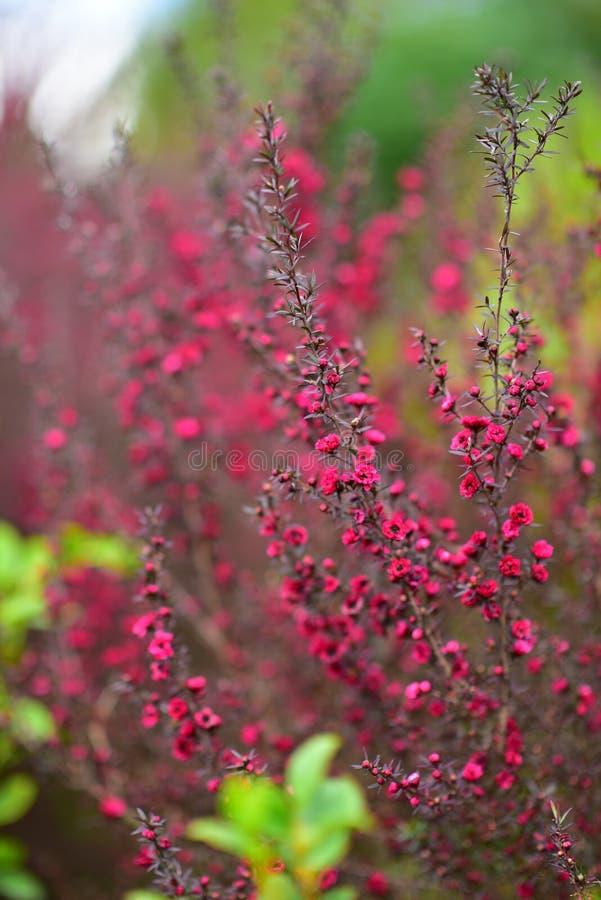 Κόκκινα λουλούδια Wiri Donna που ανθίζουν την άνοιξη στους βοτανικούς κήπους του Ώκλαντ στοκ φωτογραφία με δικαίωμα ελεύθερης χρήσης